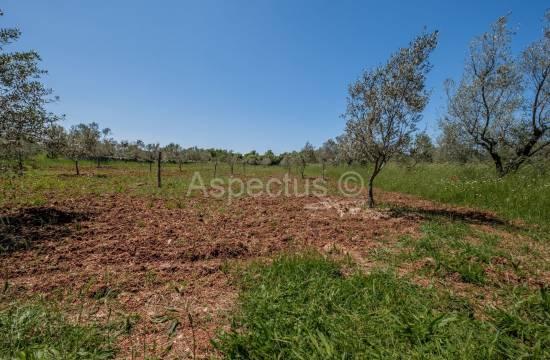 Urejen mladi oljčni nasad, 2830 m2, Fažana