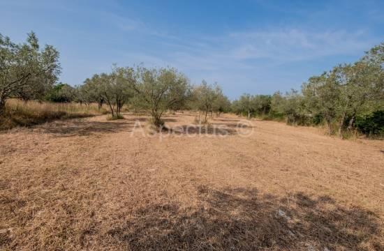 Urejen oljčni nasad, 3170 m2, Fažana